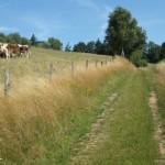 glückliche Kühe auf dem Oppig-Grät-Weg