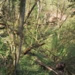 Urwald auf dem Schluchtenpfad bei Rissenthal