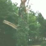 der Monstranzenbaum am Rheinsteig