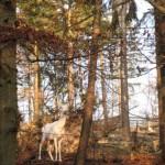 auf dem Potzberg ist ein weisser Hirsch im Wildgehege