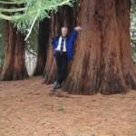 die bekannten Mammutbäume bei Landstuhl