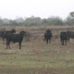 schwarze Stiere der Camargue